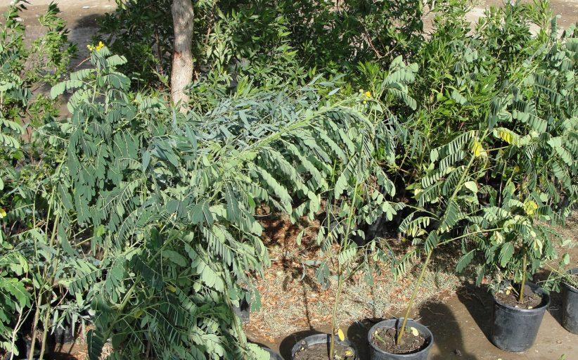 غرس أكثر من (4 دونم ) بالأشجار في جامعة القادسية