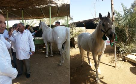 زيارة علمية لطلبة المرحلة الخامسة إلى مركز اصايل نيبور للخيول العربية في الديوانية